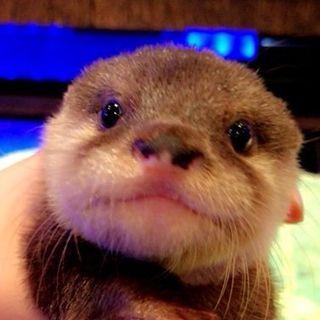 Otter Baby カワウソちぃたん