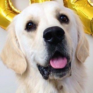 Leo the Golden Retriever