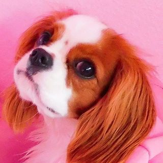 ❀ KIKI ❀ cavalier ckcs puppy