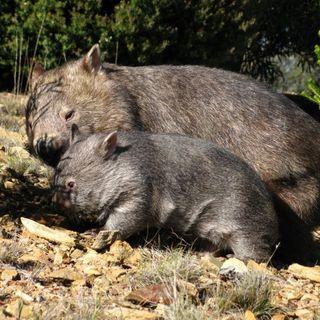 SleepyBurrows Wombat Sanctuary