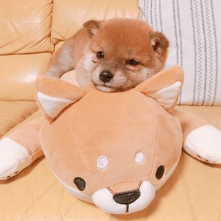 柴犬 りんご郎