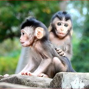 How Monkey Cry