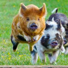 League of Pigs