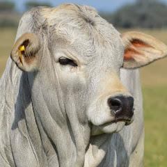 Biggest Bulls Of The World