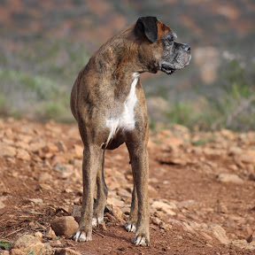 TIGER THE BOXER DOG