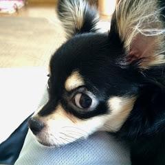 Funny Chihuahua Vanilla