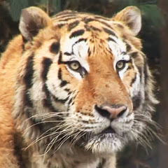 横天虎 Tiger
