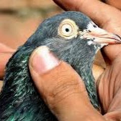 Hashim Mahmood Pigeons