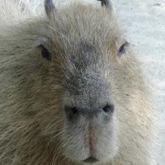 Capybara World