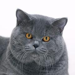 British blue cats