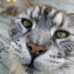 Maine Coon Capers