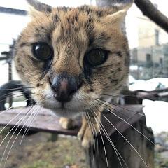 Savannah Cat Germany