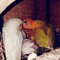 Kicauan Burung