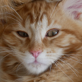 Merlin the Maine Coon
