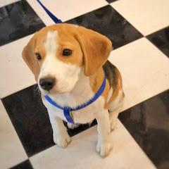 Gabru The Beagle