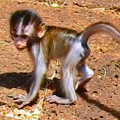 SR Monkey