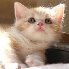 猫折れ マンチカン/Munchkin (cat)