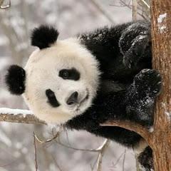 Giant Panda World