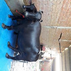 Sandeep dairy farm