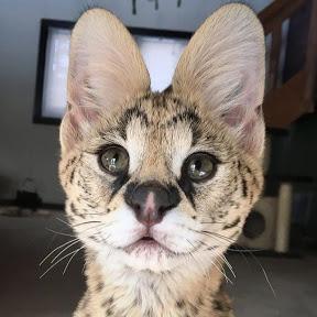 Fera the African Serval Cat