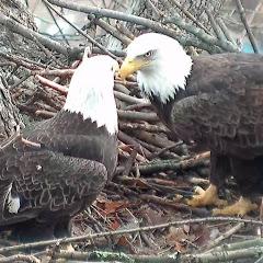 Hays Bald Eagles