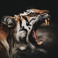 11磅小老虎
