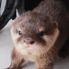 작은발 별이 Stella The Otter