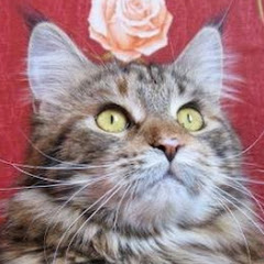Maine Coon's live
