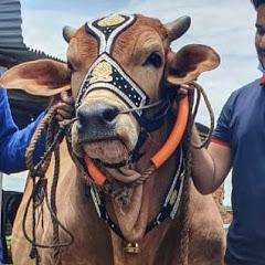 Dhaka Cow Mania