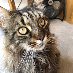 Maine Coon Central