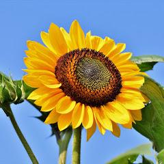 SS Sunflower