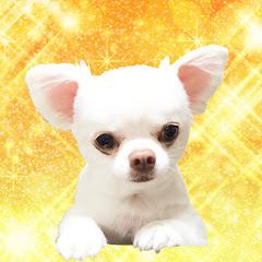 あくまでチワワチャンネル Akumade Chihuahua channel