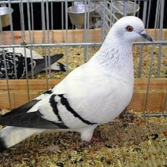 Pigeon Masti