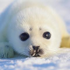 Baby Harp Seal ch