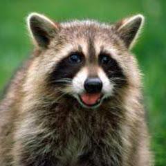 Raccoon New