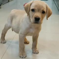 Master Milo Labrador