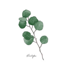 유칼립투스 Eucalyptus