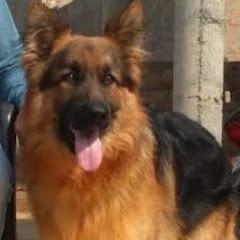 German shepherd sirsa