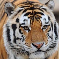 LSU Tigers on TigerDetails